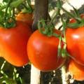pomidory-urozhay