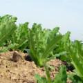 выращивание горчицы