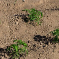 безрассадный способ выращивания