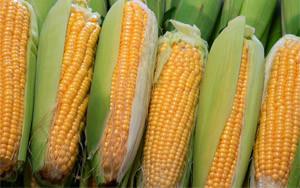 кукуруза - выращивание и уход