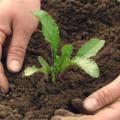 выращивание семян столовой свеклы