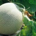 выращивание дыни