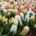 почему не цветут гиацинты