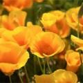 выращивание эшшольции из семян