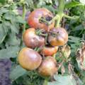 лечение фитофтороза томатов