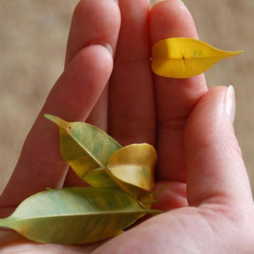 опадают листья у комнатных растений что делать
