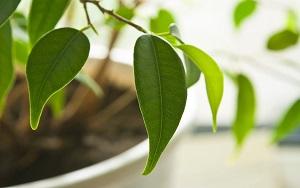 почему опадают листья у комнатнхы растений
